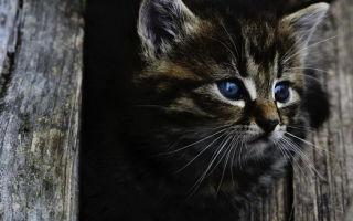 «Кот наплакал»: что обозначает это выражение?